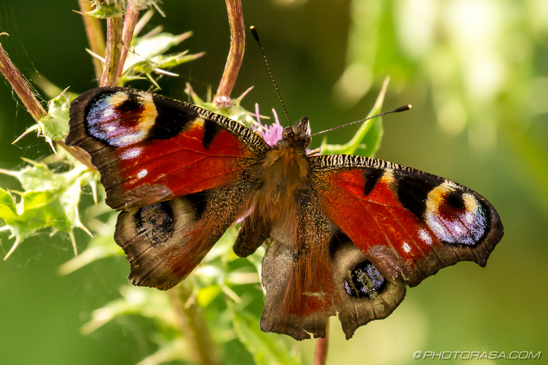 http://photorasa.com/peacock-butterfly/female-peacock-butterfly/