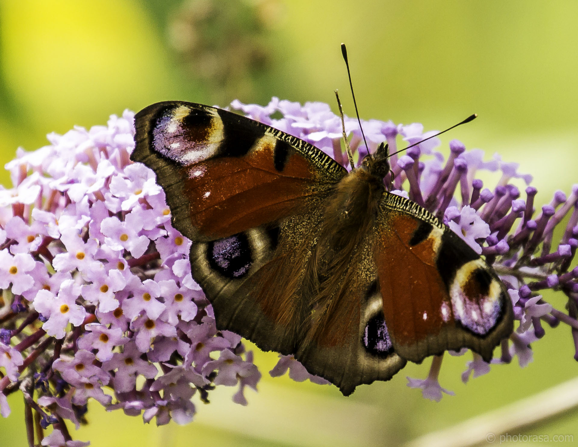 https://photorasa.com/peacock-butterfly/female-peacock-butterfly-2/