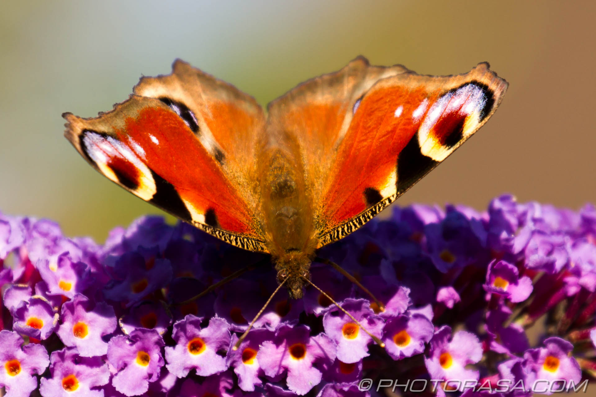 http://photorasa.com/peacock-butterfly/frontal-with-the-flowers/