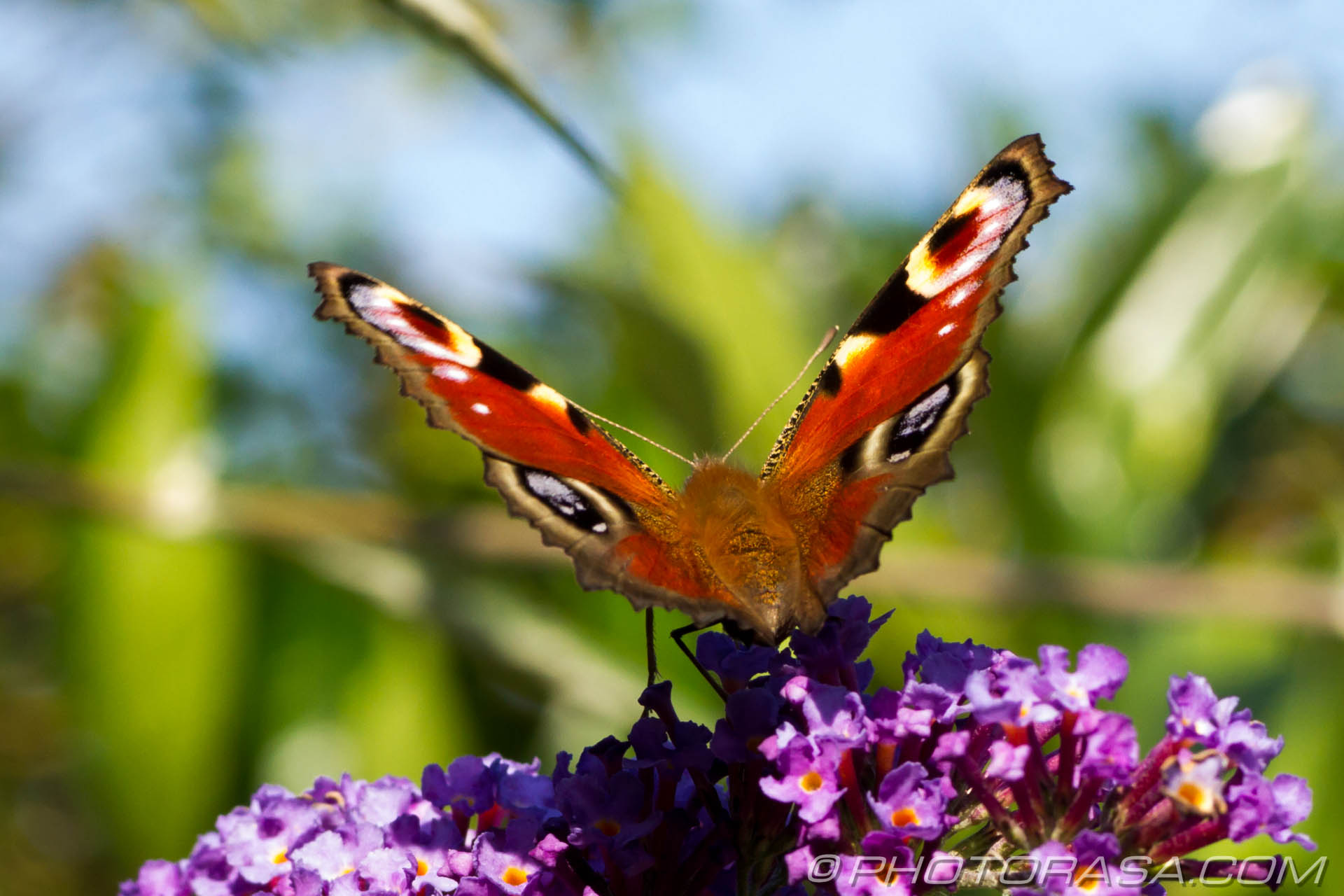 http://photorasa.com/peacock-butterfly/peacock-on-buddliea/