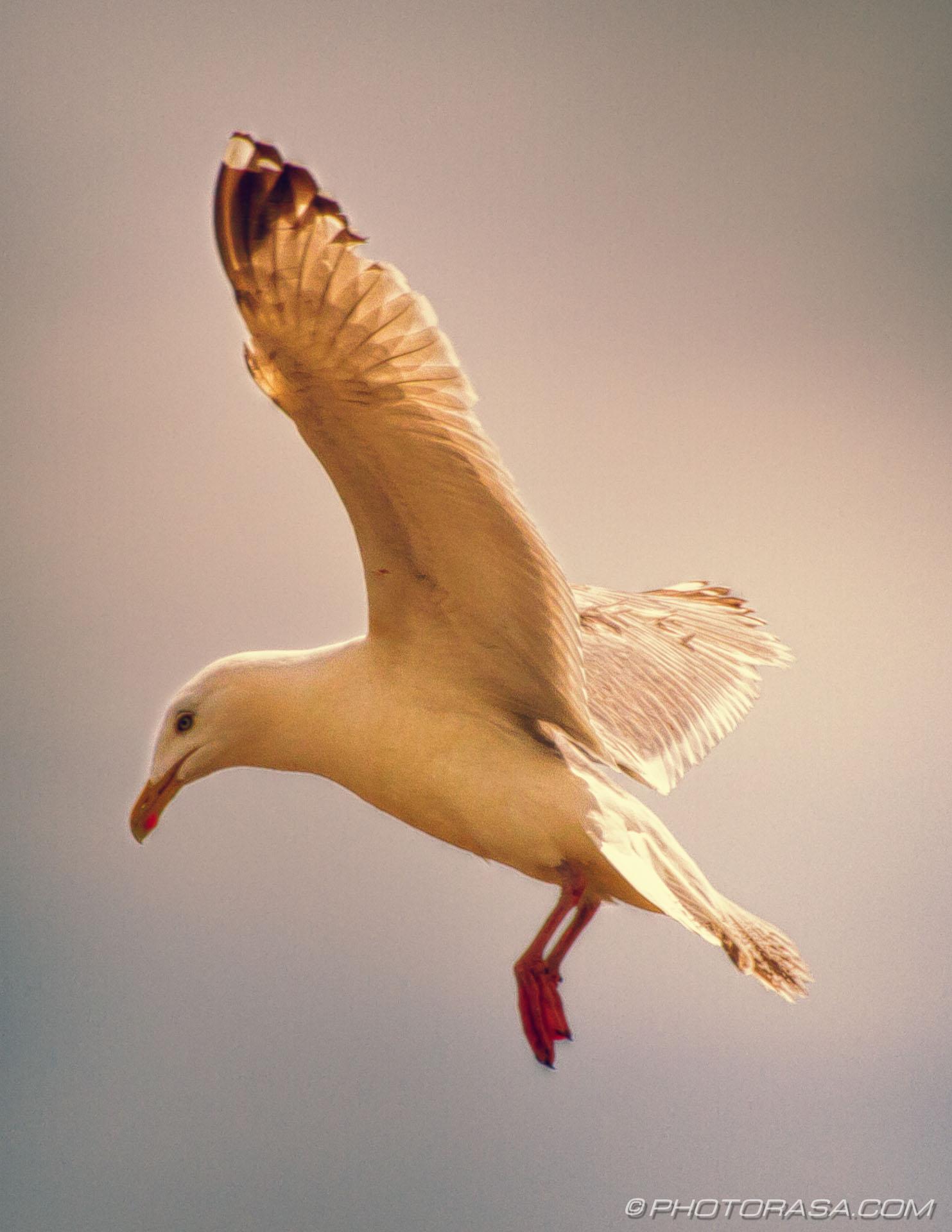 https://photorasa.com/seagulls/seagull-in-flight/