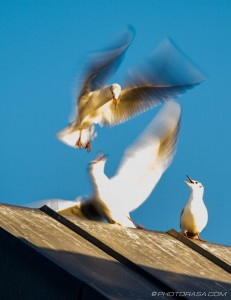 seagulls fighting on rooftop