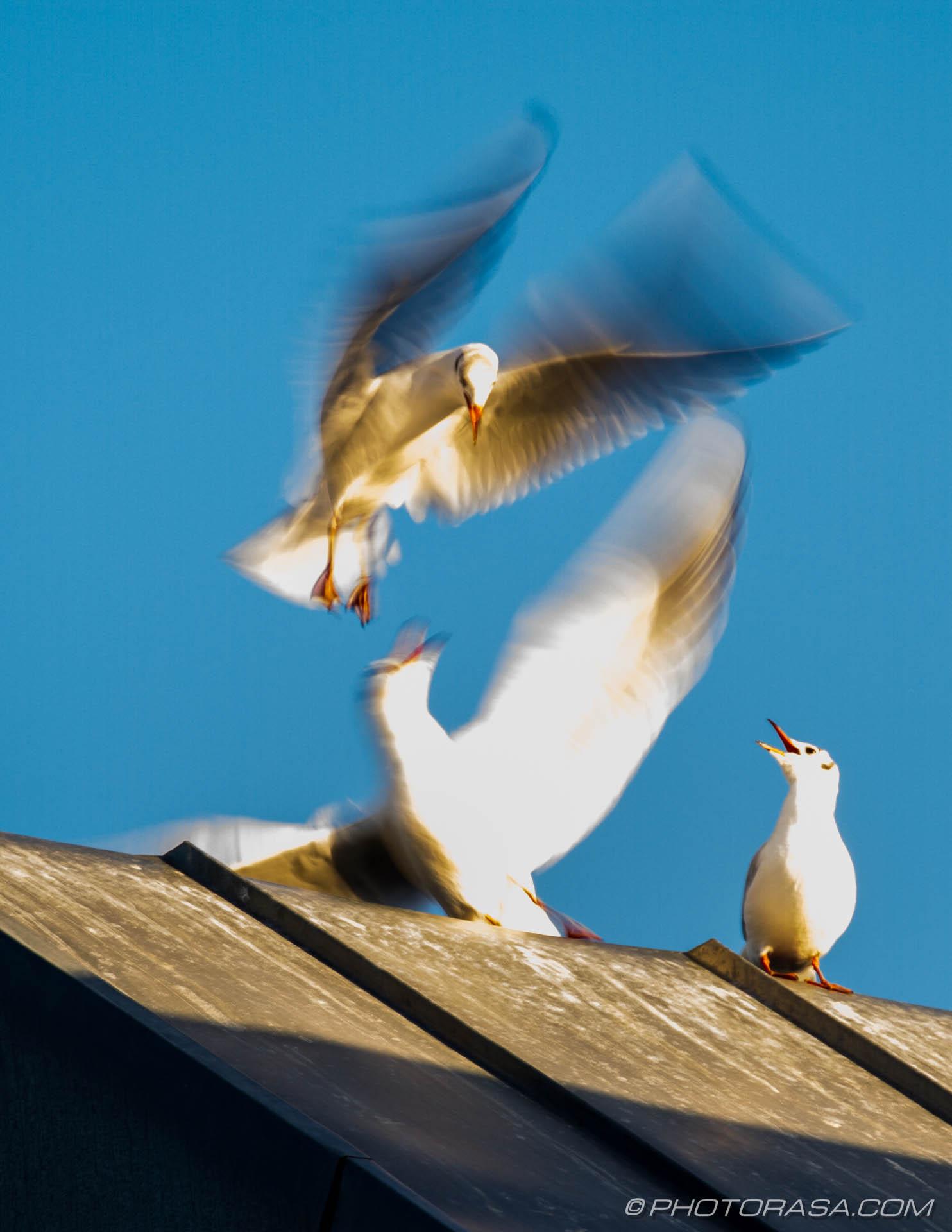 https://photorasa.com/seagulls/seagulls-fighting-on-rooftop/