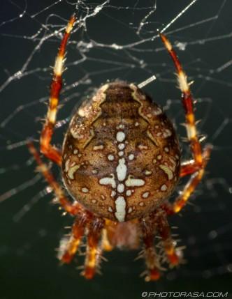 abdomen pattern of orange cross spider