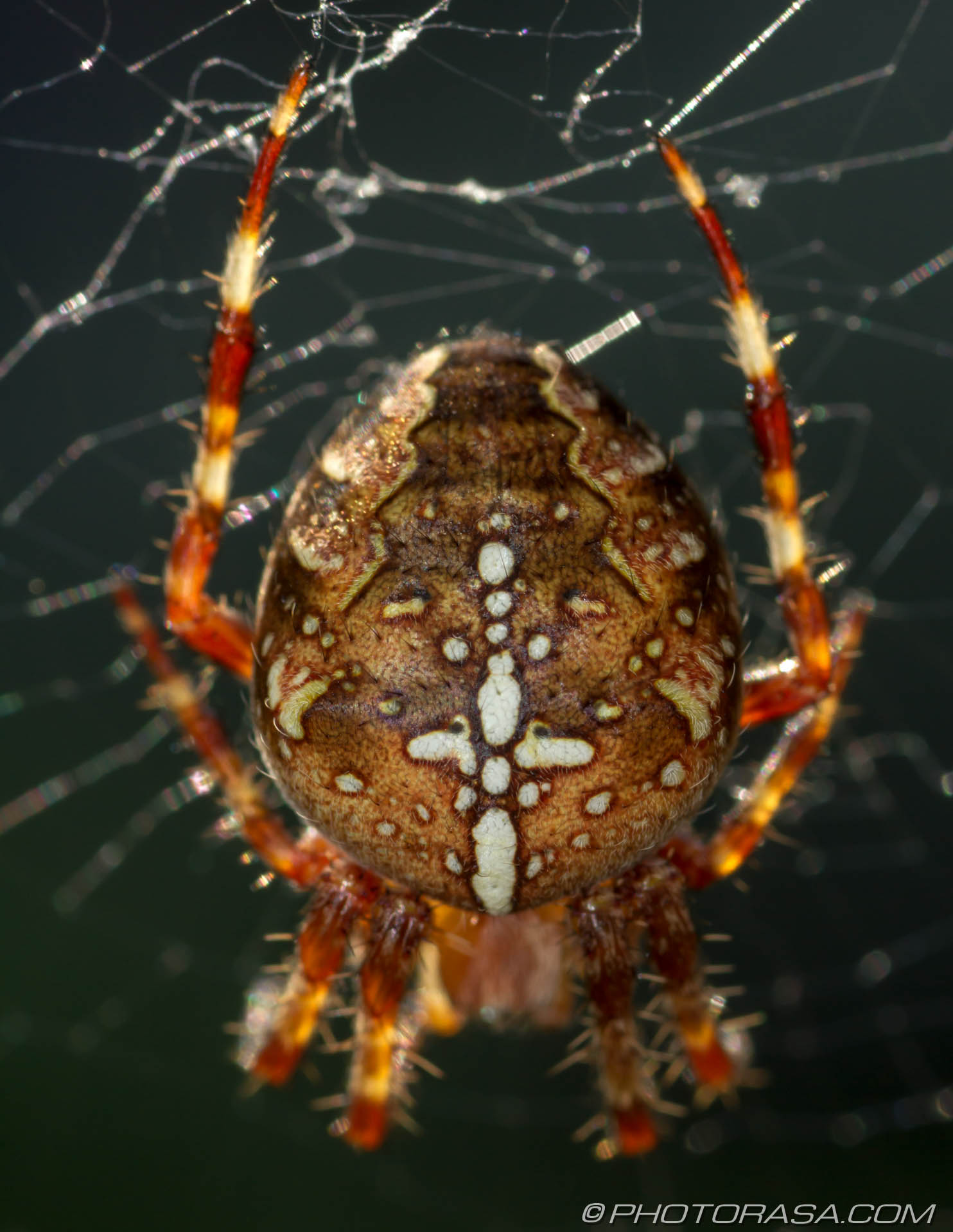 http://photorasa.com/garden-spiders/abdomen-pattern-of-orange-cross-spider/