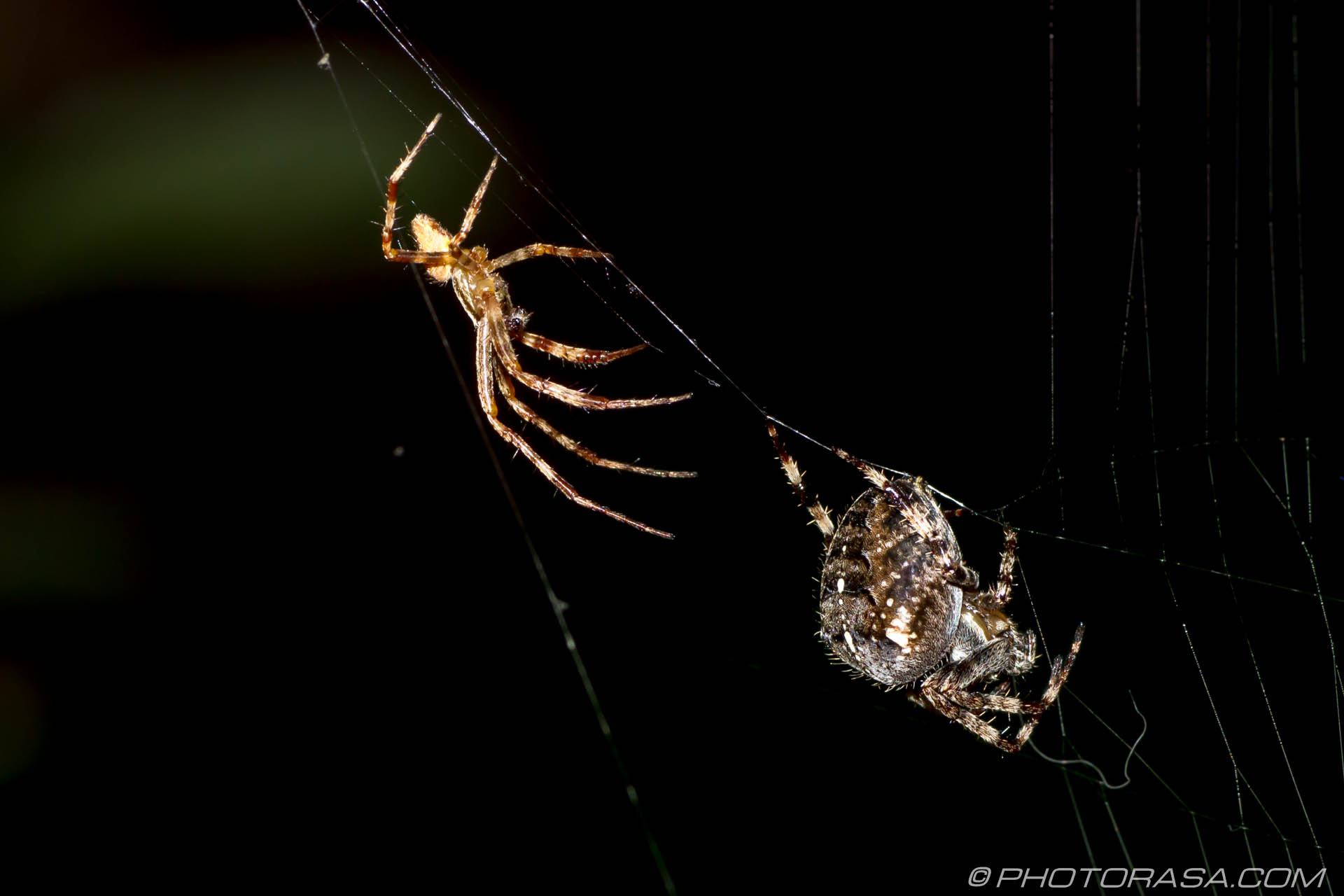 http://photorasa.com/little-large-spider-courtship/approaching-from-behind/