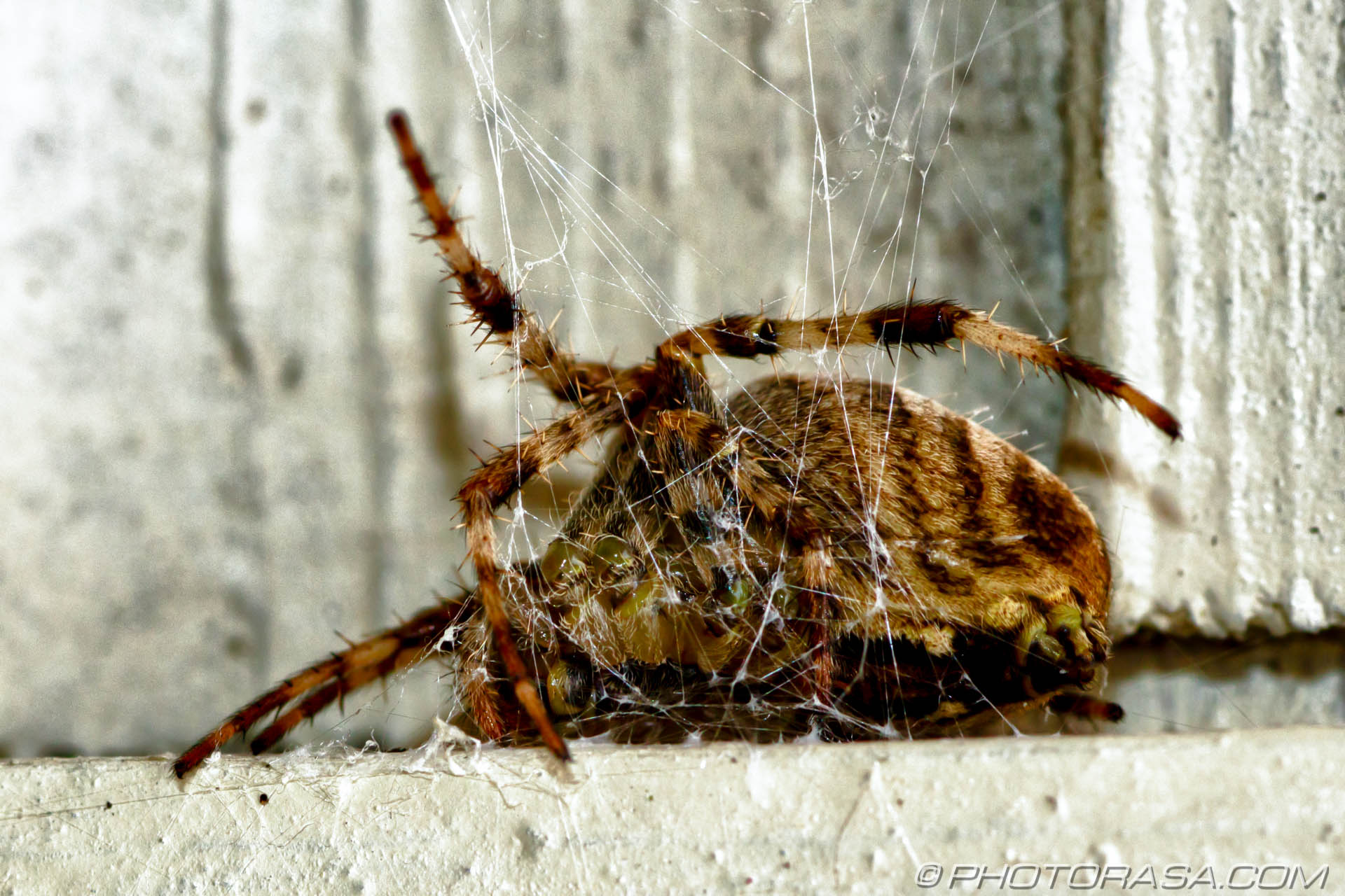 http://photorasa.com/garden-spiders/awkward-badly-positioned-legs/