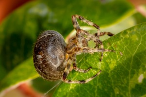 bulbous body of female cross spider