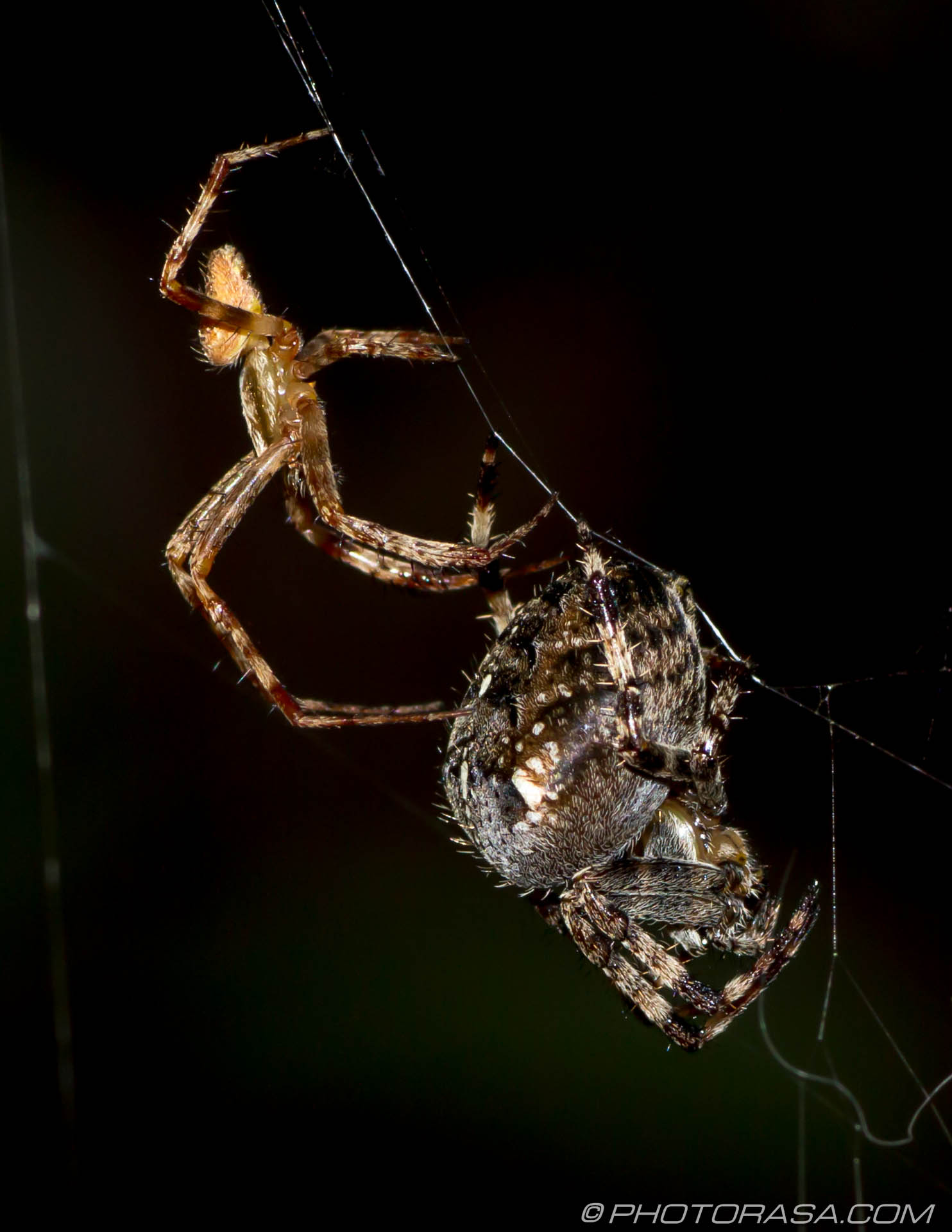 http://photorasa.com/little-large-spider-courtship/female-bracing-herself/