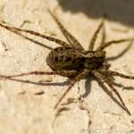female uk wolf spider