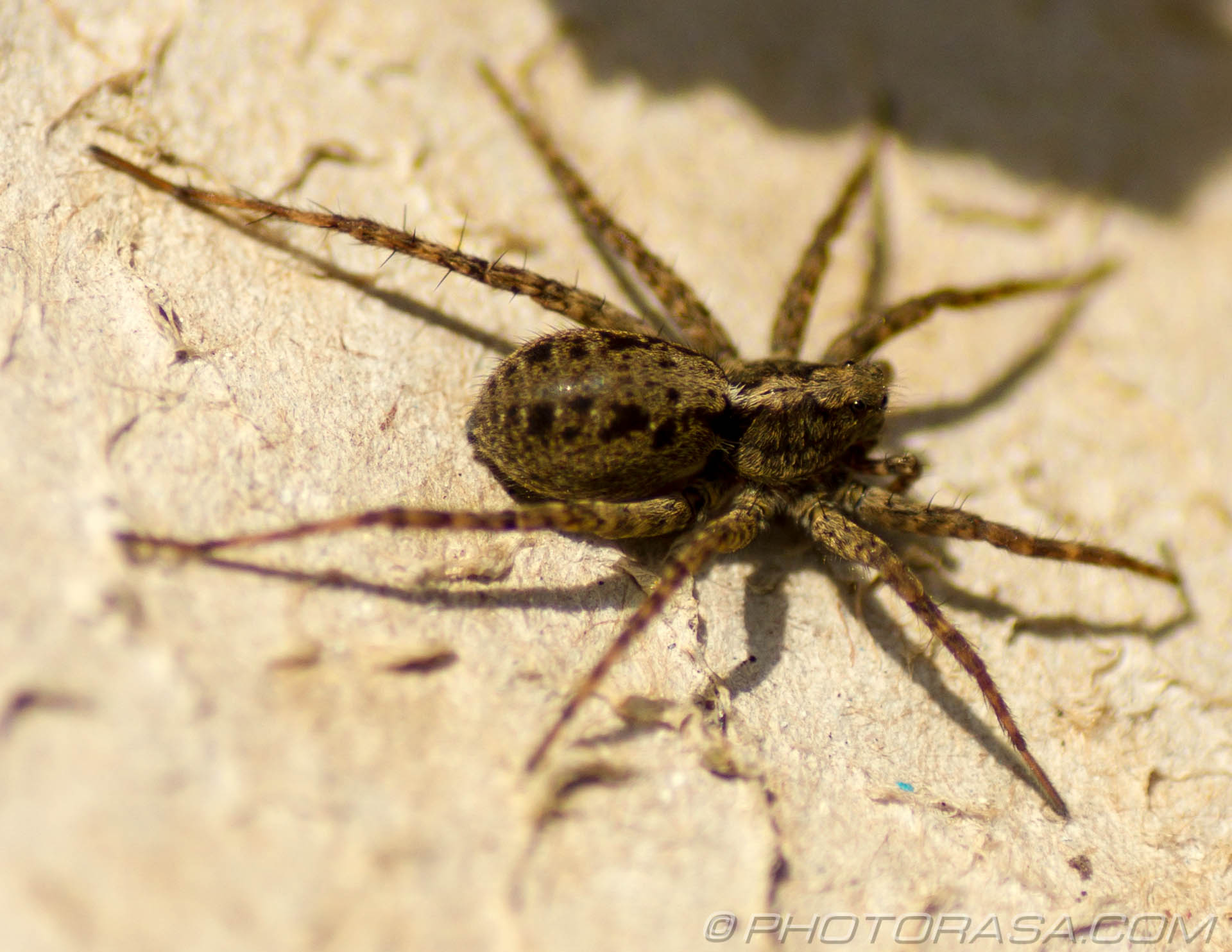 http://photorasa.com/wolf-spiders/female-uk-wolf-spider/