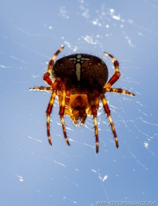 garden spider on web from below