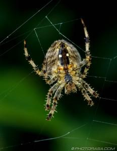 garden spider underside