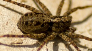 hairy wolf spider close up