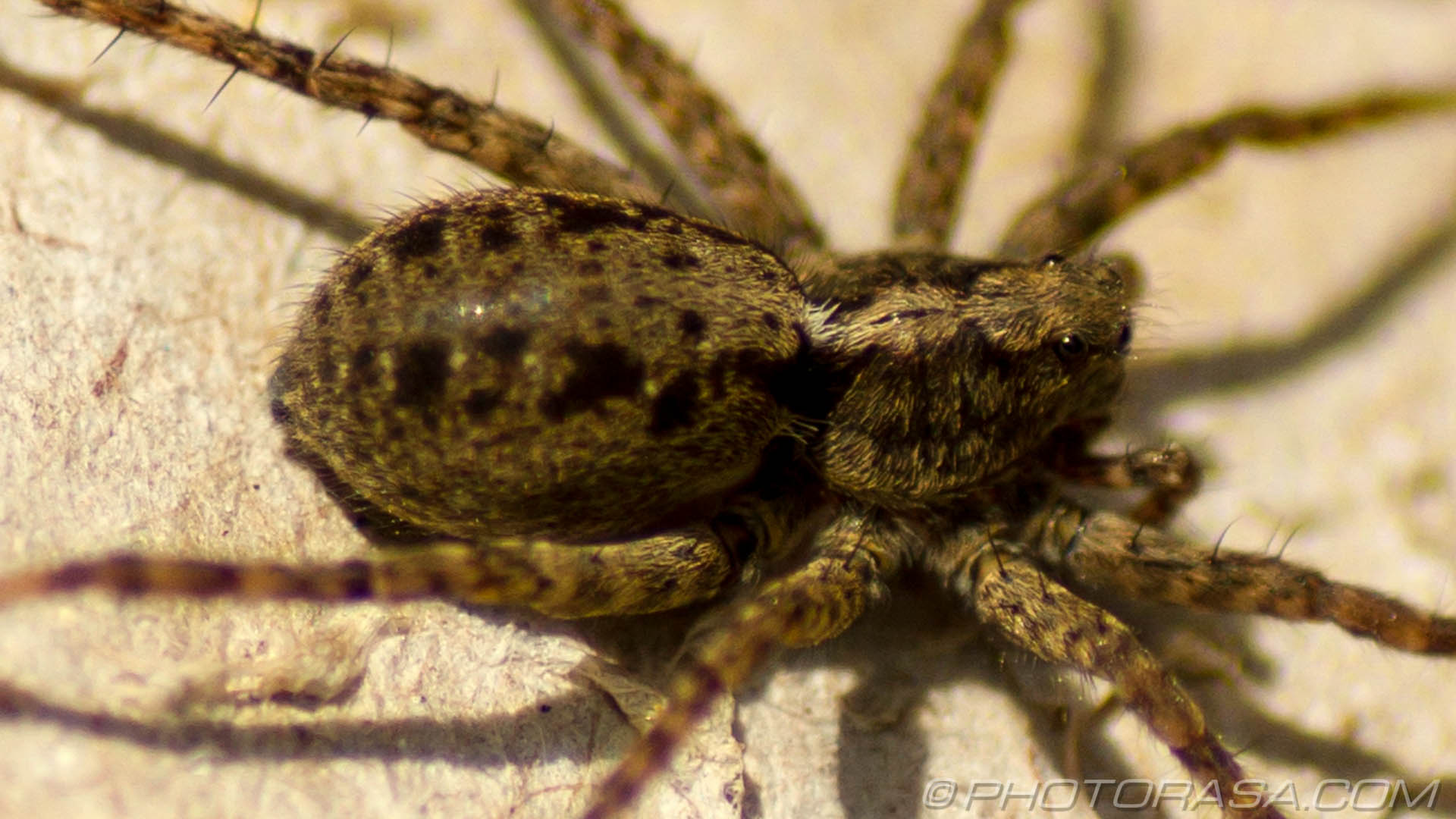 http://photorasa.com/wolf-spiders/hairy-wolf-spider-close-up/
