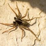 male wolf spider