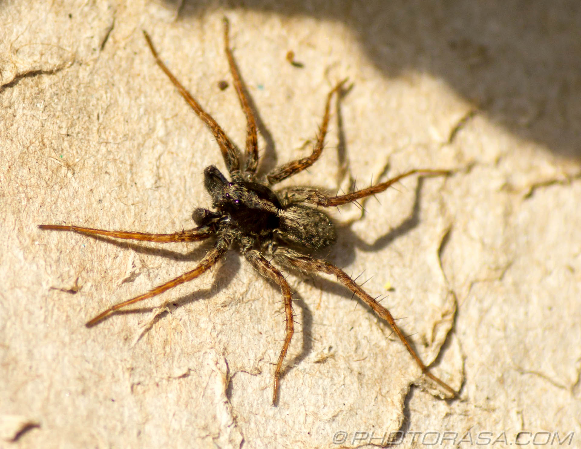 http://photorasa.com/wolf-spiders/male-wolf-spider/