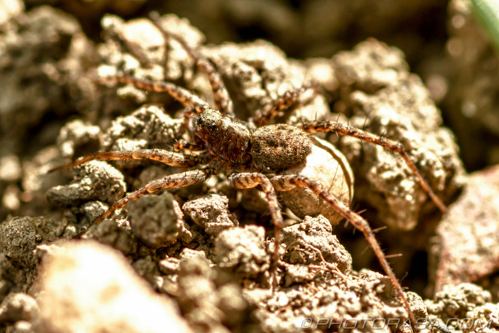 http://photorasa.com/wolf-spiders/pregnant-wolf-spider/