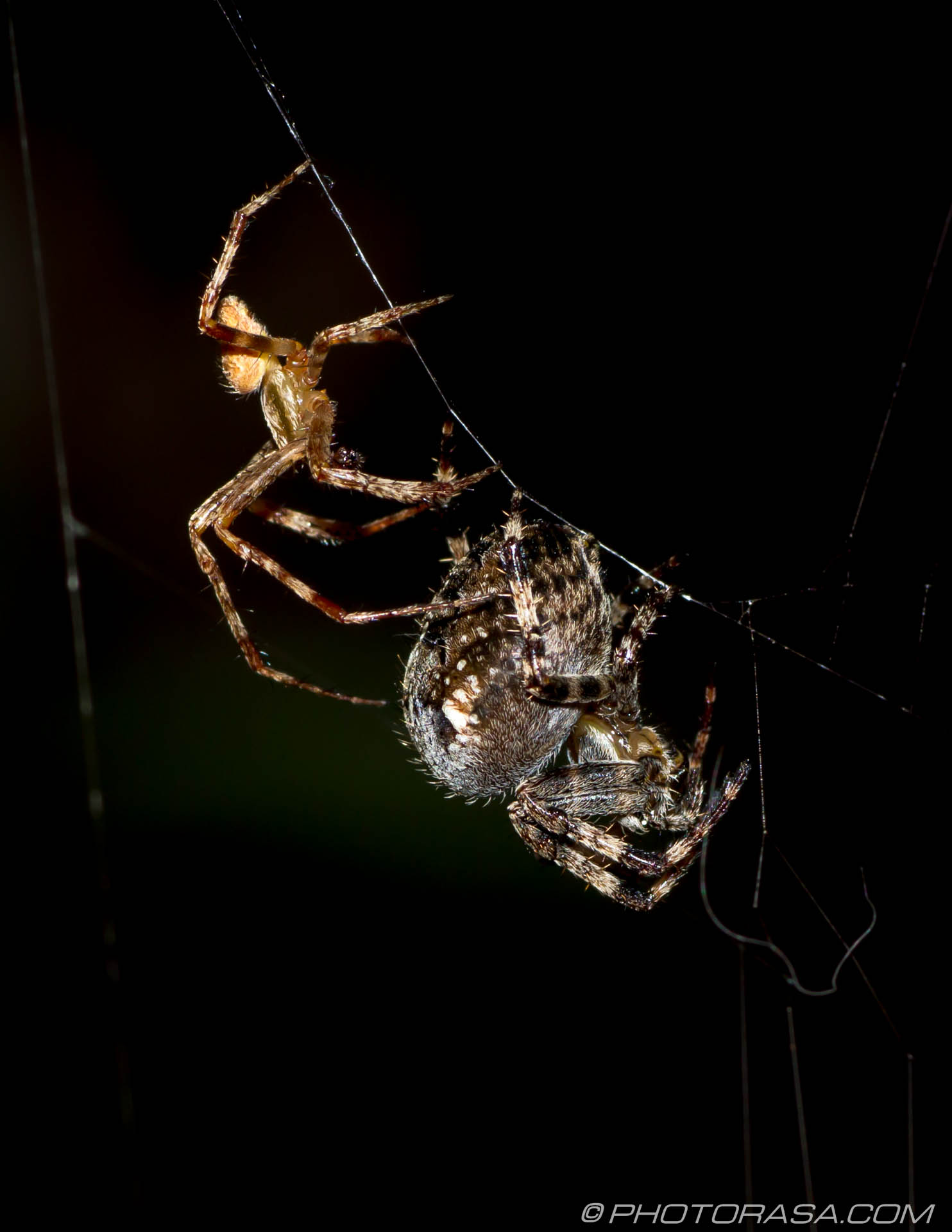 http://photorasa.com/little-large-spider-courtship/ready-to-pounce/