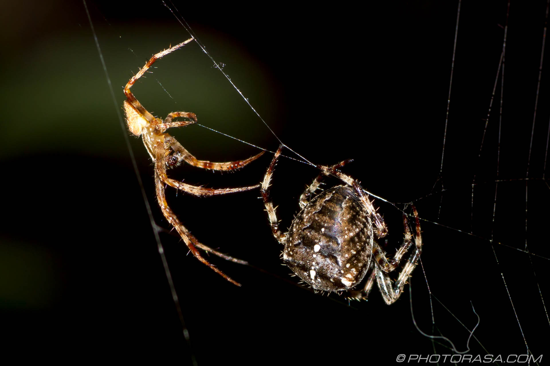 http://photorasa.com/little-large-spider-courtship/sideways-strategy/