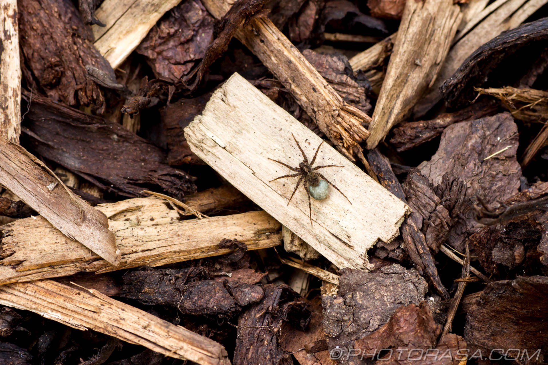http://photorasa.com/wolf-spiders/spider-on-wood-and-bark/