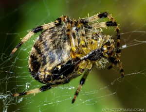 spider with black bands on legs
