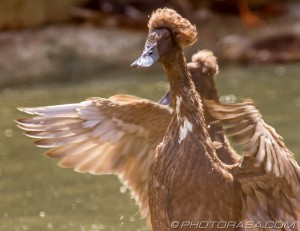 bali indian runner duck in a flap