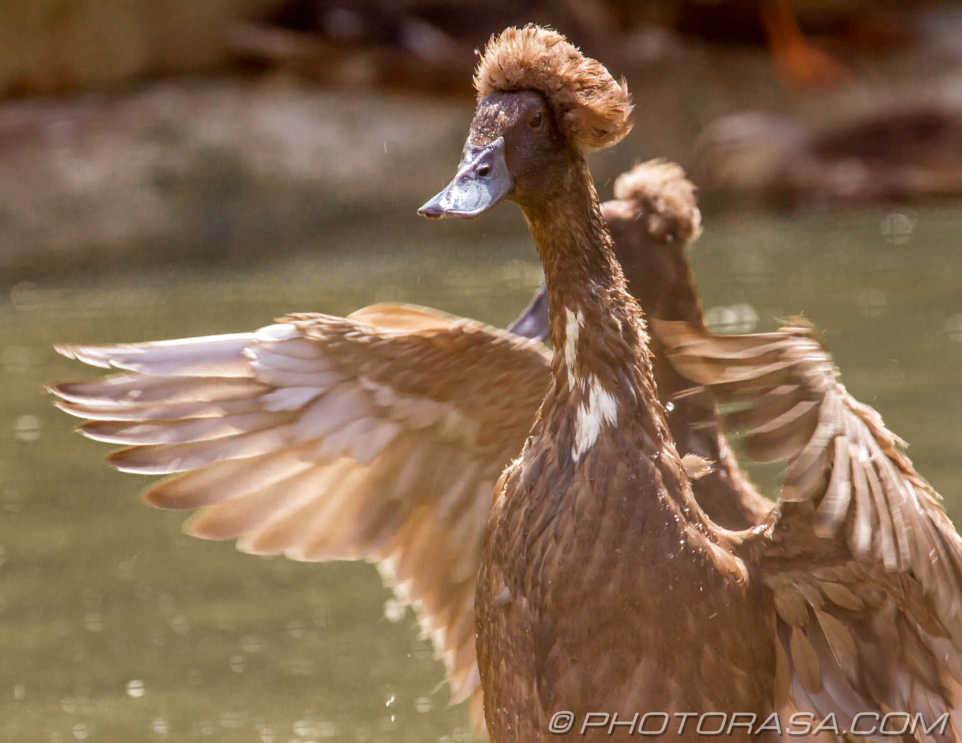 http://photorasa.com/birds-greenworld/bali-indian-runner-duck-in-a-flap/