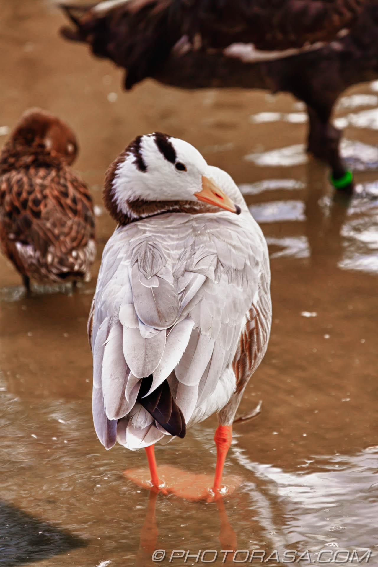 http://photorasa.com/birds-greenworld/boa-headed-goose/