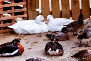 cuddling ducks
