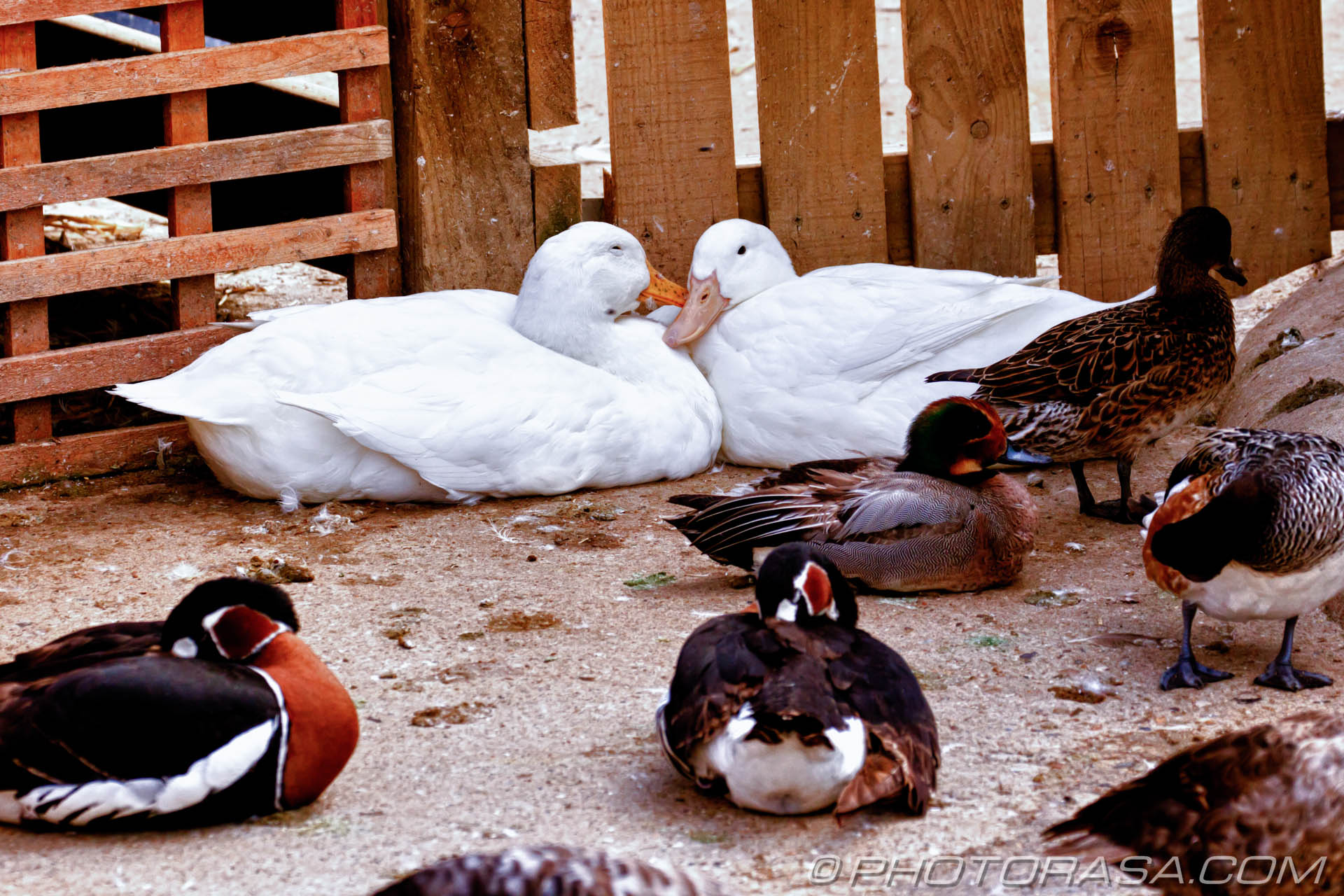 http://photorasa.com/birds-greenworld/cuddling-ducks/