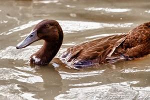 dark brown campbell duck