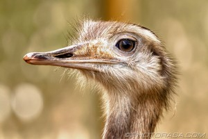 greater rhea close up