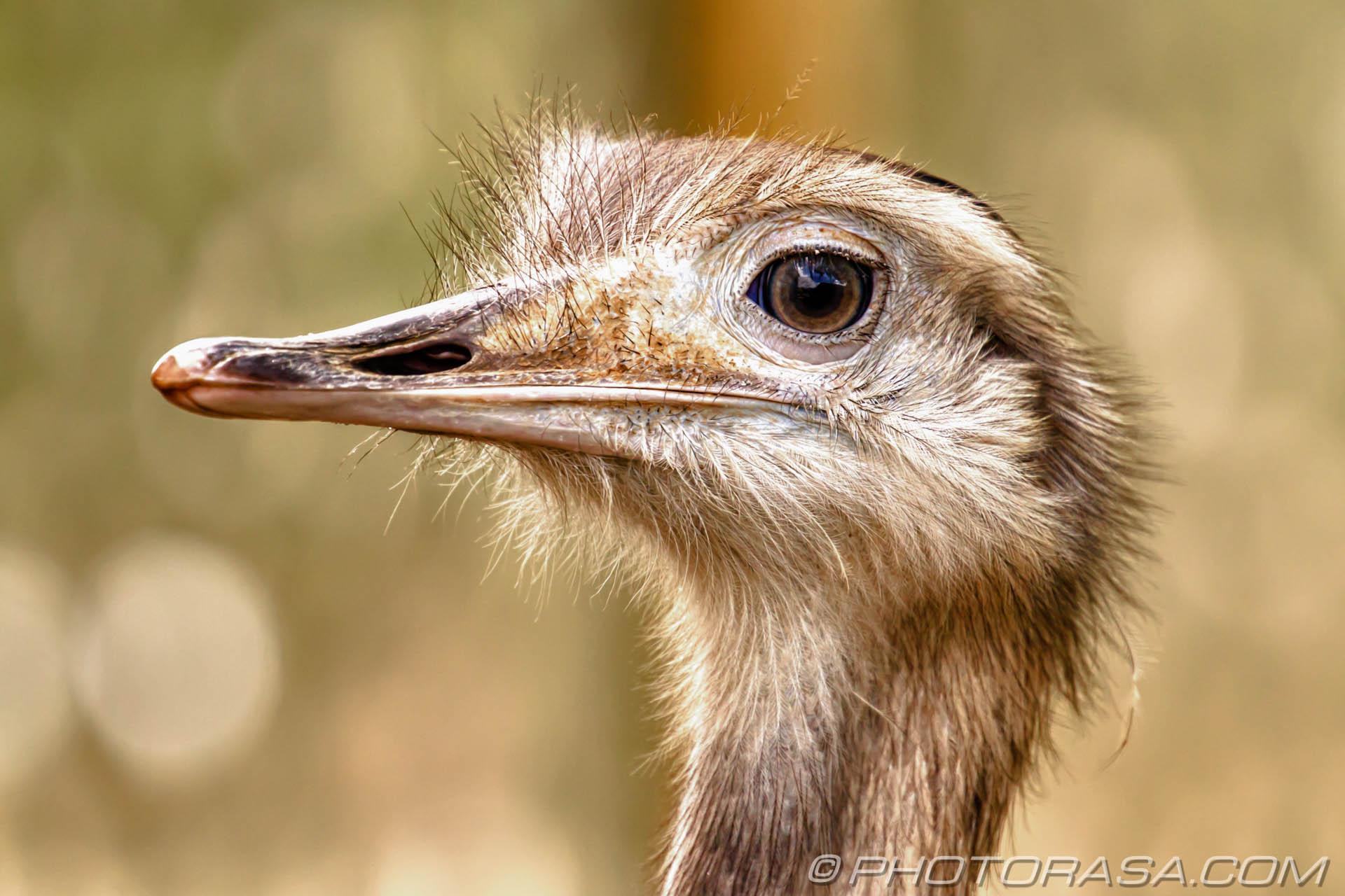 https://photorasa.com/birds-greenworld/greater-rhea-close-up/