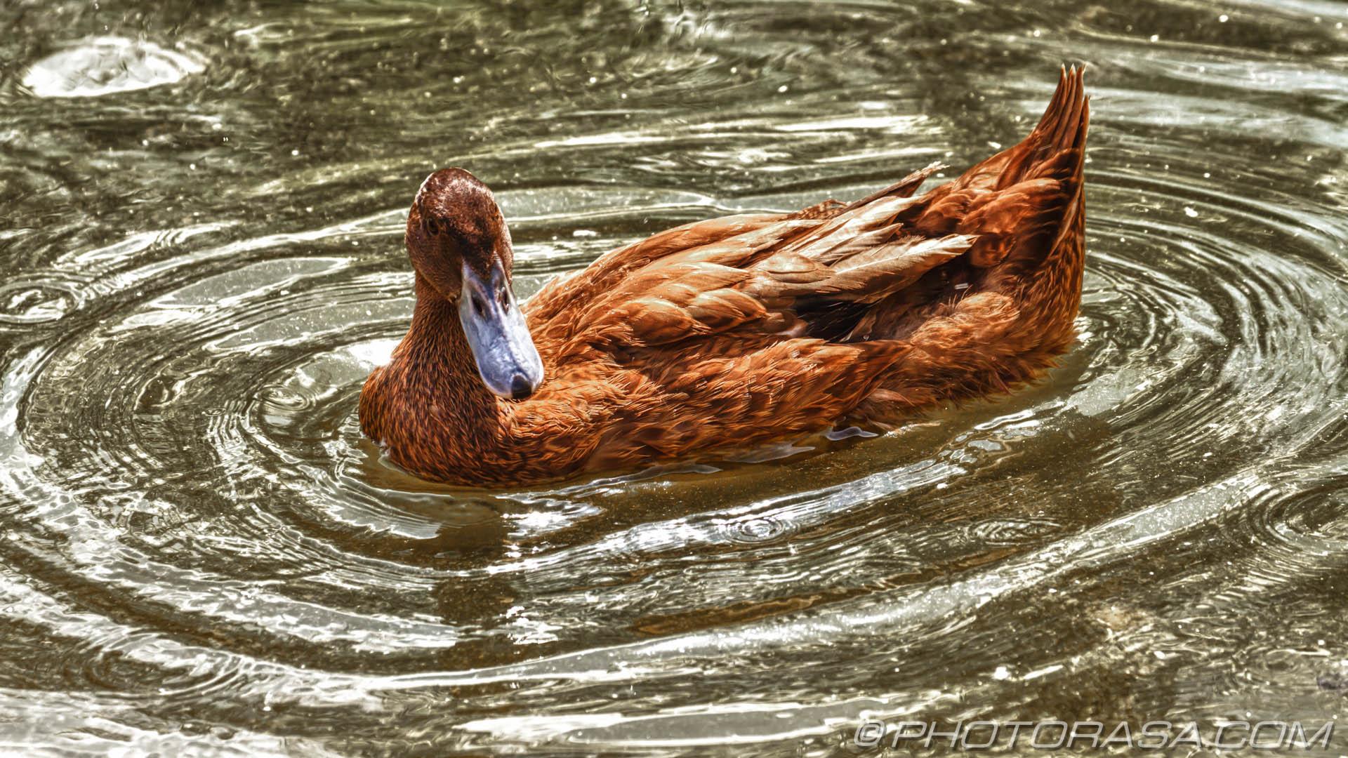 https://photorasa.com/birds-greenworld/hd-brown-duck-in-water-ripple/