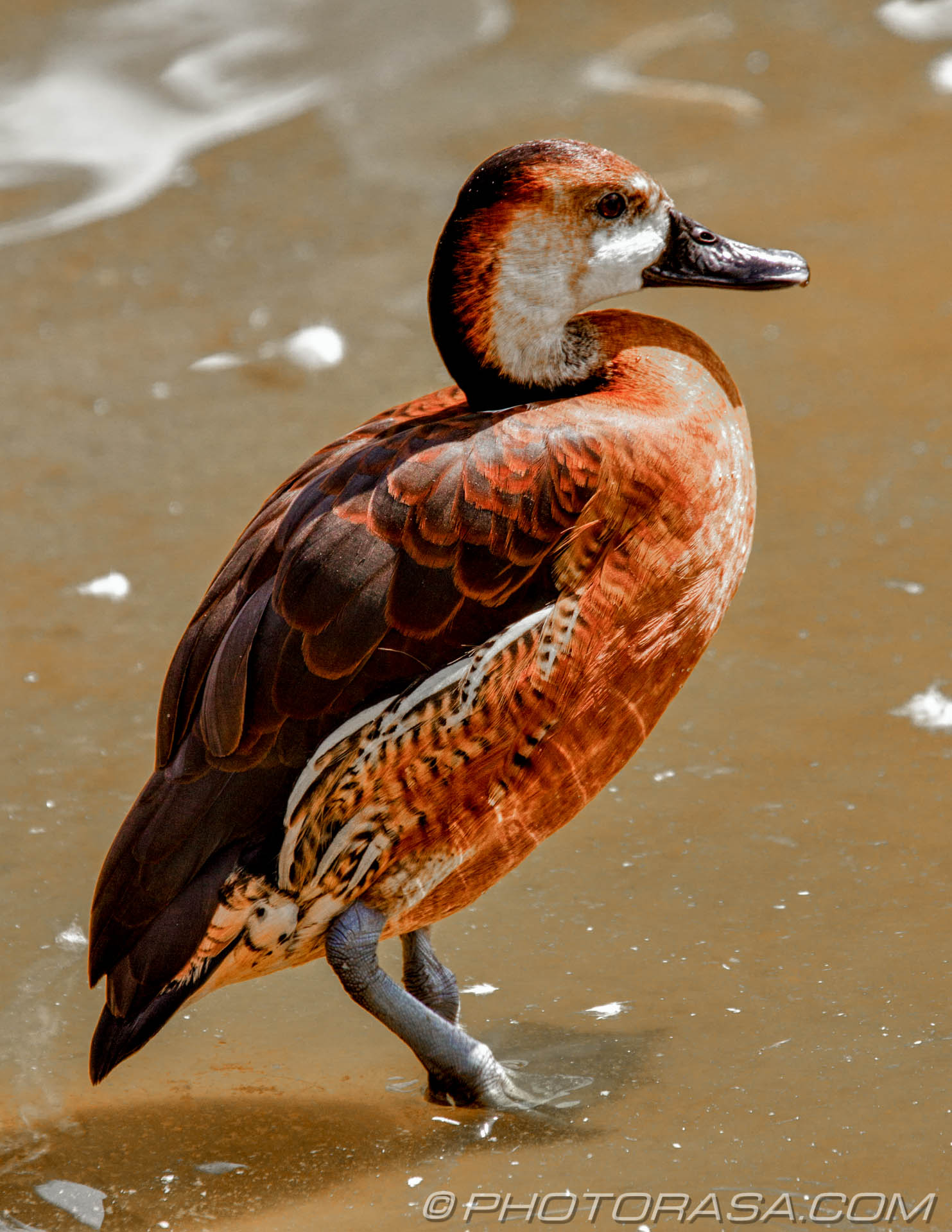 http://photorasa.com/birds-greenworld/orange-red-and-brown-duck/