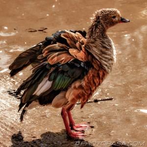 orinoco goose ruffling his feathers