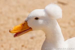 quacking white crested runner
