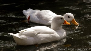 two white ducks looking for food
