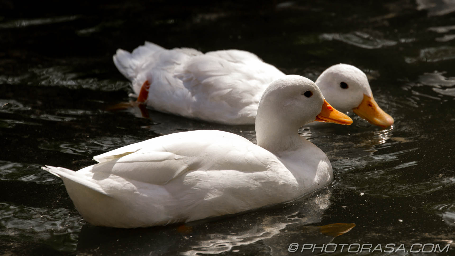 http://photorasa.com/birds-greenworld/two-white-ducks-looking-for-food/