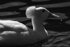 white crested duck swimming in black and white