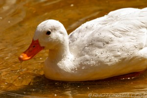 white duck and water droplets