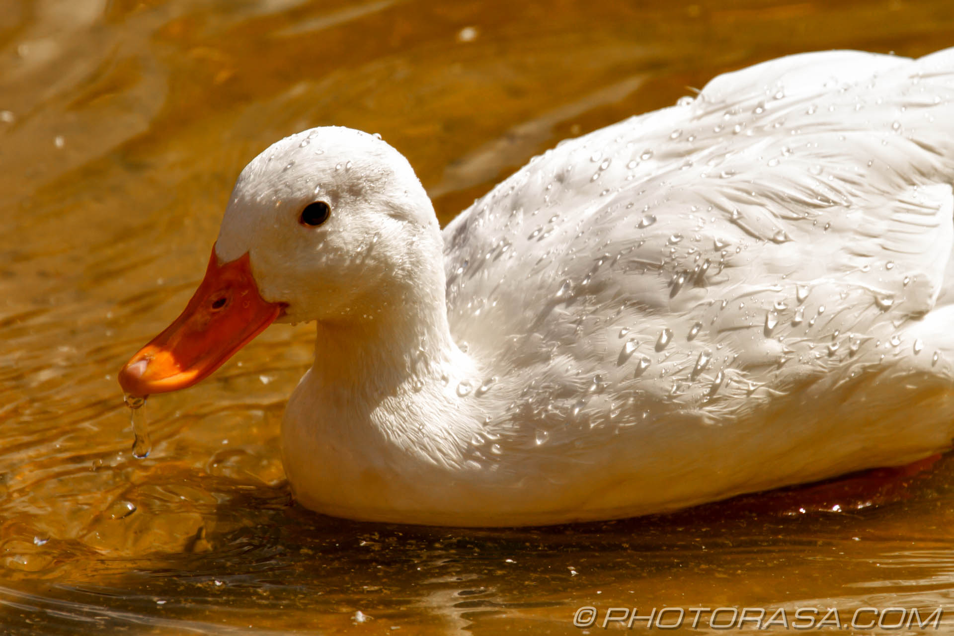 http://photorasa.com/birds-greenworld/white-duck-and-water-droplets/