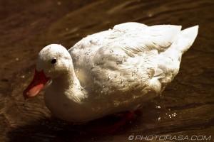 white duck low exposure