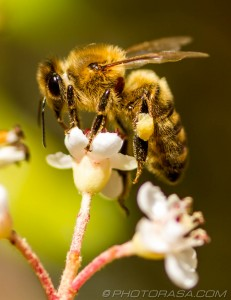 apis mellifera honey bee balancing on top of flower