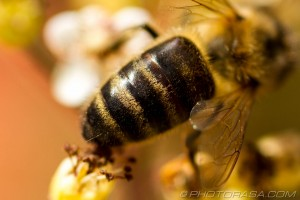 apis mellifera honey bee striped abdomen