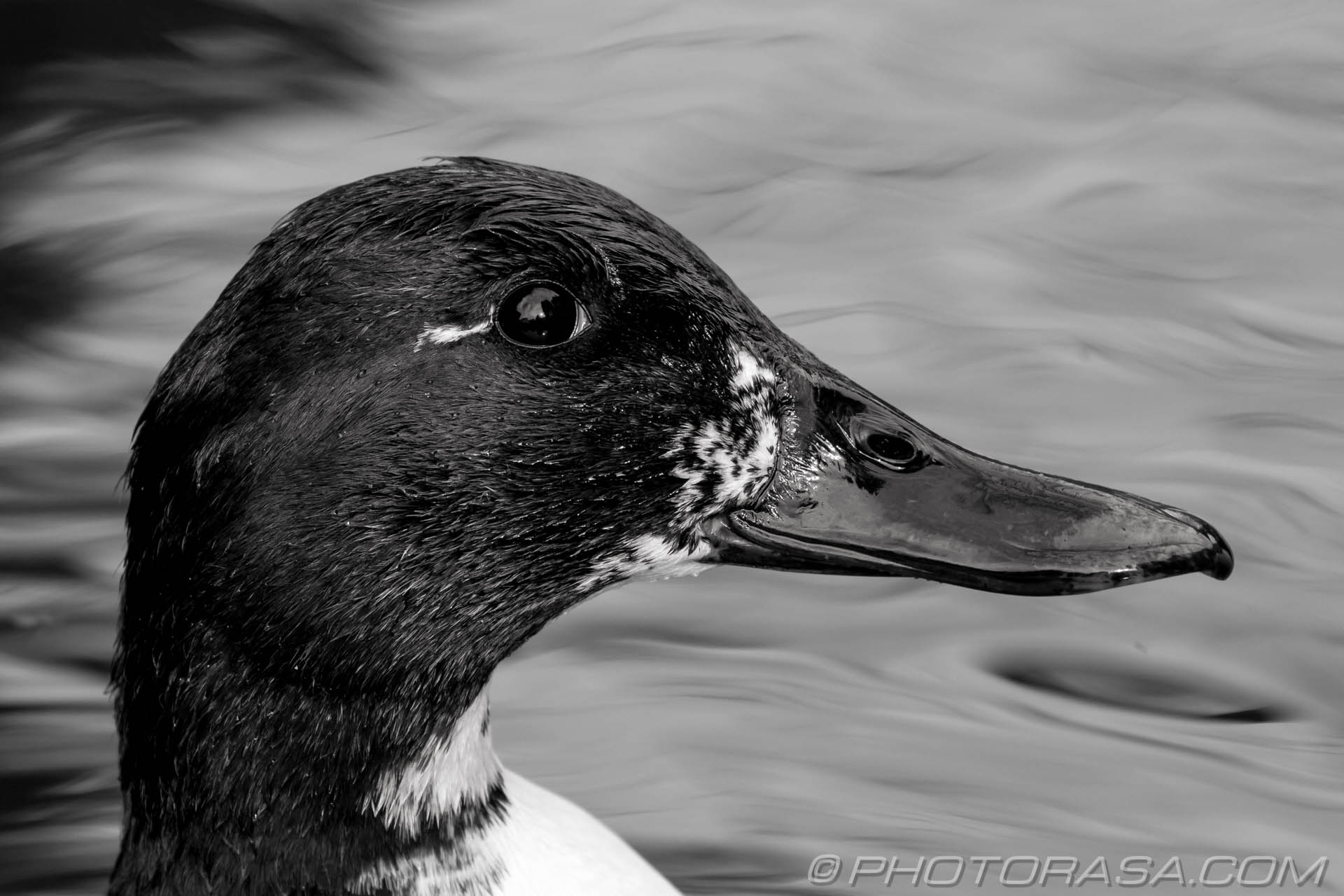 http://photorasa.com/black-and-white-duck/black-and-white-duck-2/