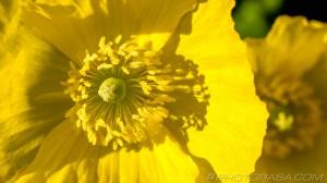 buttercup stamens