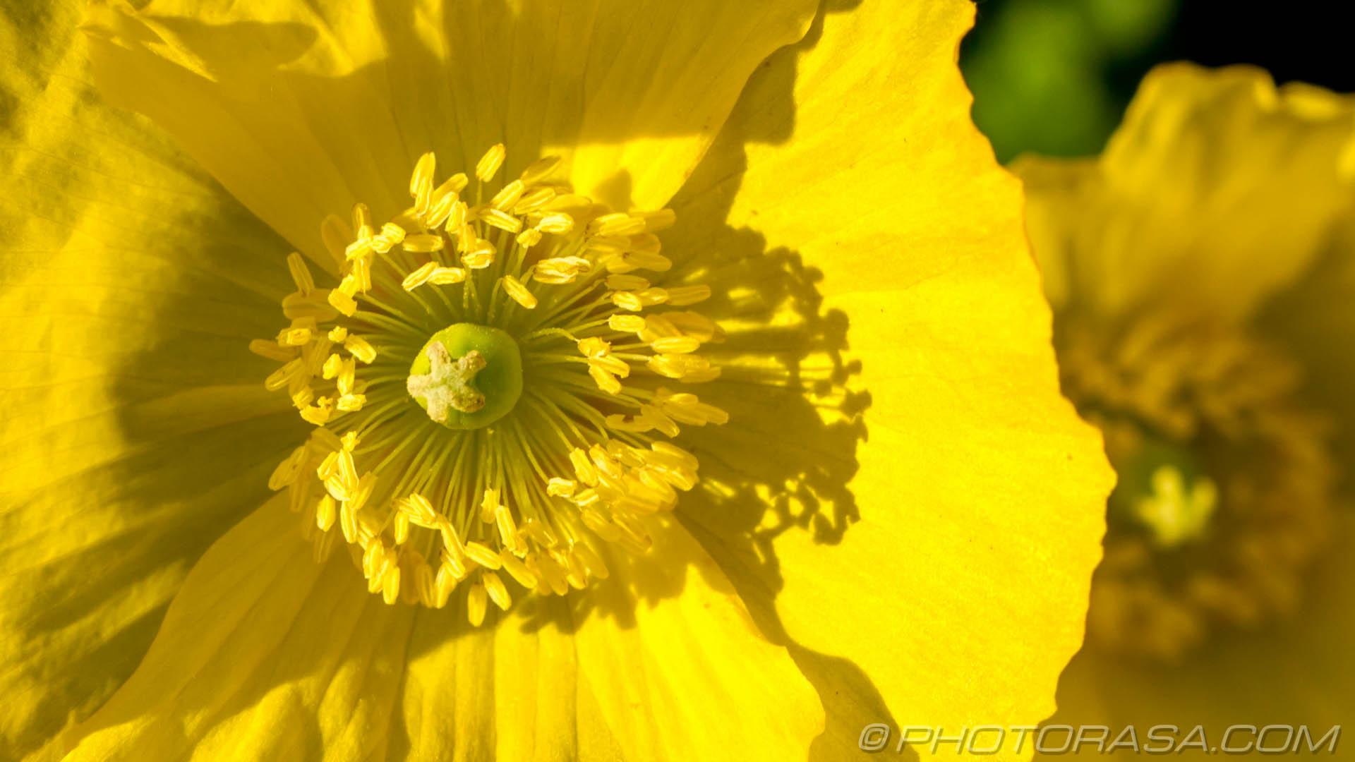 http://photorasa.com/buttercups/buttercup-stamens/
