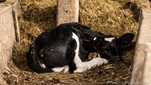 calf relaxing with eye open